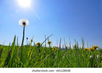 Spring meadow with blossoming dandelions. Dandelion seeds.Backlit, sun images.