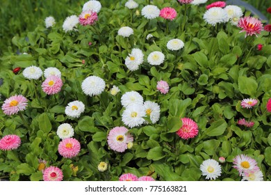 Spring meadow bright colored daisies - bellis perennis.