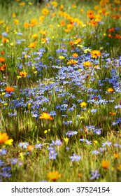 Spring meadow. Each year, the dry South African Namaqualand landscape of open plains and granite outcrops bursts into brilliant colours with the first rains of spring.