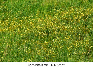 Spring meadow with flowering buttercups (Ranunculus). Nature background.