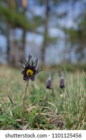 Spring meadow with flowering Small pasque flower (Pulsatilla pratensis)