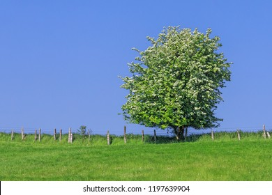 Spring meadow with hawthorn shrub in front of blue sky, Schleswig-Holstein, Germany