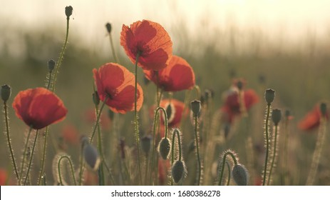 Spring meadow with red poppies at sunrise. Beautiful natural spring background