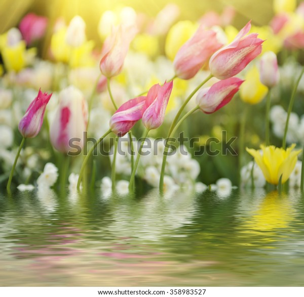 Spring meadow with violet pink tulip flowers, floral sunny seasonal background with water reflection