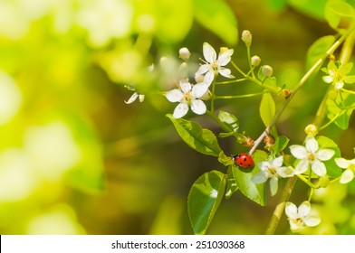 spring messenger, lady bug on flowering branch