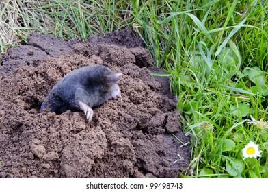 spring mole  and molehill in the garden
