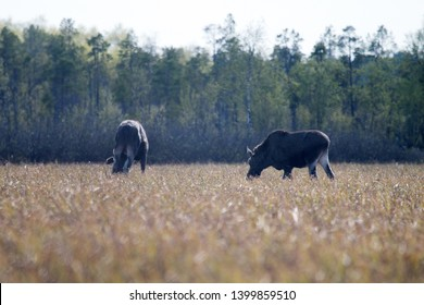 In spring moose eat young grass on floodplain meadows. Female (beginning of regrowth of horns) and her yearling calf. Lapland