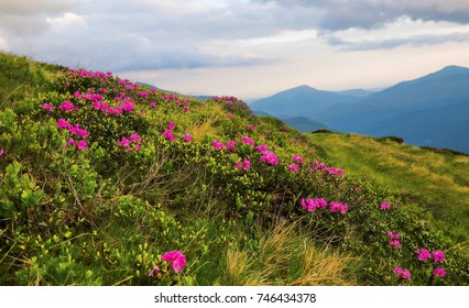 Spring mountain landscape with Rhododendron flowers and grass vegetation, outdoor mountain blossoms in the meadows of a rural landscape