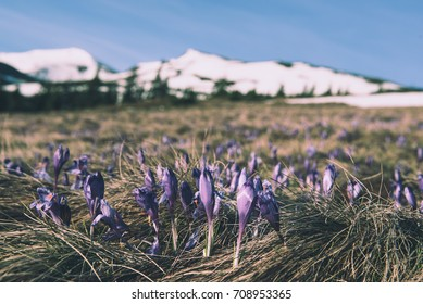 Spring mountain landscape with violet crocuses blooming on the meadow. White mountains and blue sky are on background