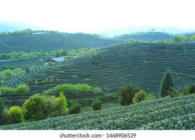 Spring mountain tea garden landscape