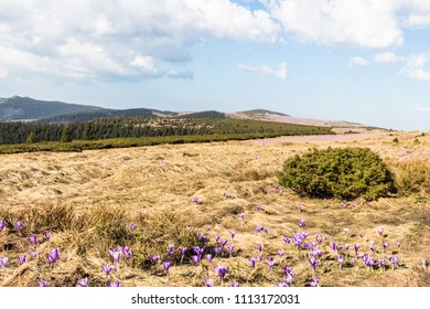 Spring in moutains with crocus flowers