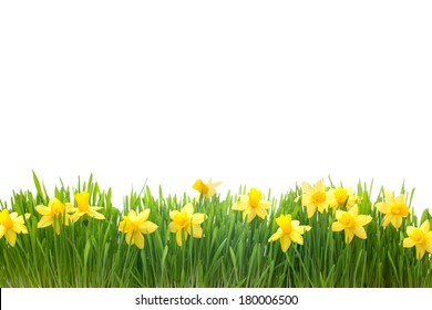 spring narcissus flowers in green grass isolated on white background
