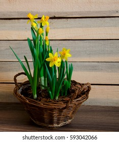 Spring narcissus in a rustic wicker basket on wooden background