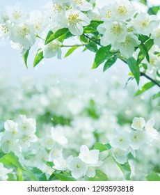 Spring natural  background with bright blooming jasmine. Spring floral background