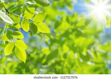 Spring natural background with bright fresh willow leaves
