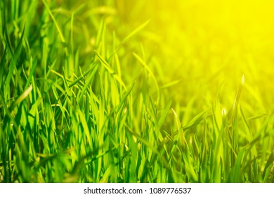 spring natural background, fresh green grass in a sunlight