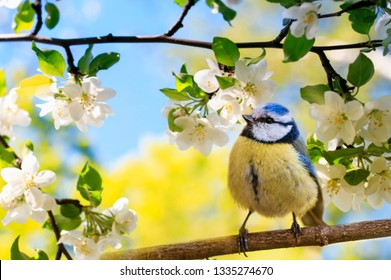 spring natural background with little cute bird tit sitting in may garden on a branch of flowering Apple tree with white fragrant buds