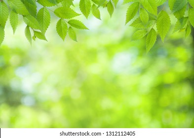 Spring natural blurred background with green leaves on tree branch, copy space, defocused
