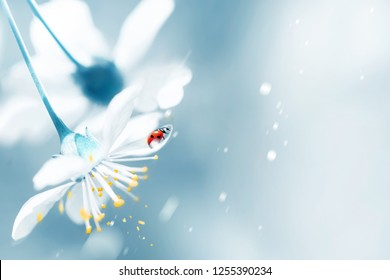 Spring natural floral background. Flowering elegant white cherry and red ladybug in the spring garden. Artistic spring postcard. Free copy space.