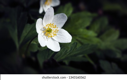 Spring and nature. Anemones first spring flowers. Anemone sylvestris, snowdrop anemone flower.