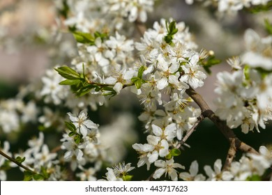 spring nature background. branch apple tree with  flowers close up.