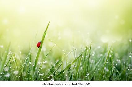 Frühlingsnatur, Hintergrund. Grünes Gras mit Ladybug und Tau Tröpfchen auf Wiese im Morgenlicht. Frische und Reinheit der Quellnatur.
