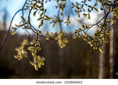 Spring nature background with pussy willow branches. Rural landscape in Latvia; pussy-willow at roadside.