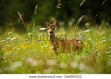 Spring in the nature. Beautiful blooming meadow with many white and yellow flowers and animal, Roe deer, Capreolus capreolus, chewing green leaves. Wildlife scene from nature.