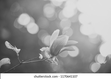 Spring, nature, beauty. Magnolia flower purple blossom on bokeh natural background. Nobility, perseverance, dignity concept. Flourishing success youth