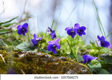 Spring nature common violets background. Viola Odorata flowers in the garden .Glade with purple flowers of violets close up