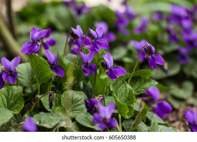 Spring nature common violets background. Viola Odorata flowers in the garden close up. Selective focus