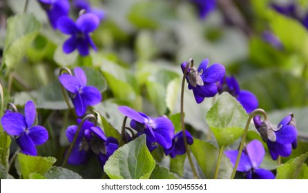 Spring nature common violets background.Viola odorata (Sweet Violet, Viola odorata) blooming in spring close-up. Nature background