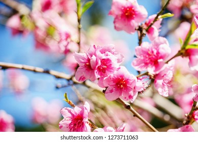 spring nature, peach blossom, pink flowers on branches on a Sunny day, beautiful postcard.