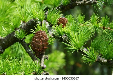 Spring needle fascicles and cones of Dahurian Larch, coniferous tree known under latin name Larix Gmelinii , native to eastern Siberia, northeastern Mongolia, northeastern China and North Korea