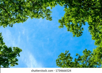 spring oak branches on the blue sky