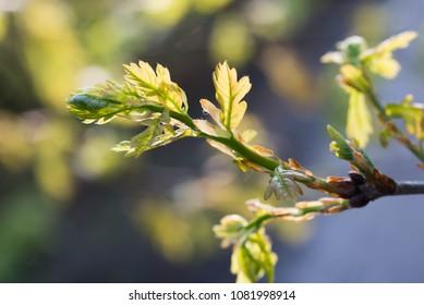 spring oak leaves macro selective focus  Quercus petraea
