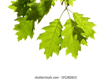 Spring Oak Leaves on Branch Isolated on White
