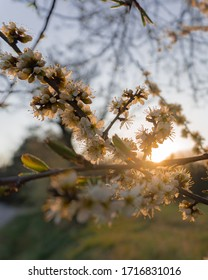 Spring observation of a flowering tree in nature - 20.4.2020