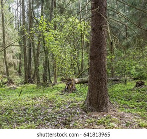Spring in the old fir forest. Nature in the vicinity of Kobrin, Belarus.