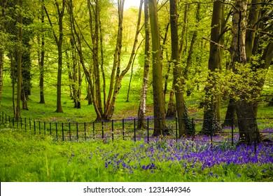 Spring on Hampstead Heath - bluebells