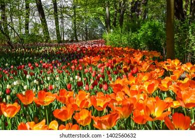 Spring orange tulip flowers blooming. Tulip festival in Saint Petersburg, Russia. Spring blooming orange tulips. Spring tulip flowers