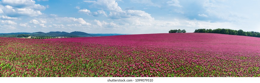 Spring panorama of flowering crimson clovers. Trifolium incarnatum. Beautiful panoramic field of red trefoil. Idyllic view, hills and forest on horizon. Blue sky and white clouds. Full depth of field.