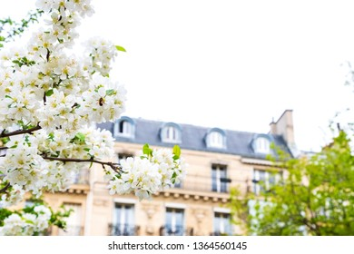 Spring in Paris (France). Blooming cherry tree and typical Parisian building at background. Romantic Parisian vacation background. Easter holidays in Europe concept.