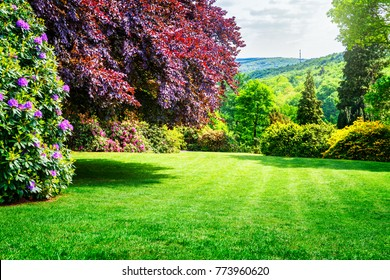 Spring park. City park with blooming rhododendron, fresh green lawn and copper beech tree. Springtime landscape background. Beauty in nature