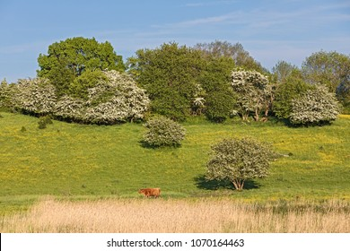 Spring pasture with hawthorn and flowering buttercups and one Highland cattle, in Schleswig-Holstein, Germany.