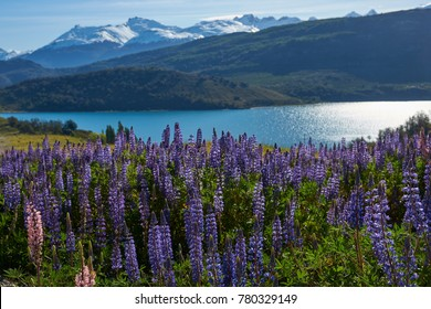 Spring in Patagonia. Lupins flowering on the shore of Lago General Carrera in Northern Patagonia, Chile.