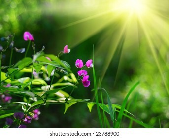 Spring pea flowers