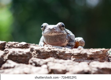 Spring Peeper frog perched on a log.