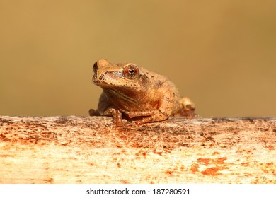 Spring Peeper (Pseudacris crucifer) on a log with a green background