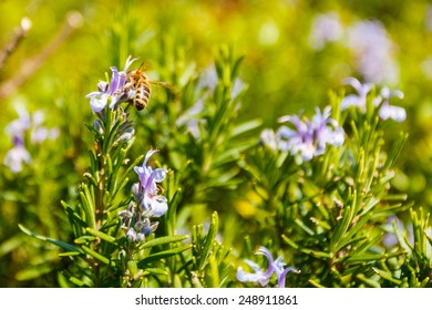 Spring photo of rosemary flowers and bee.